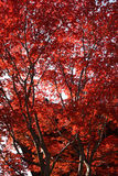 Red Leaves in front of temple roof Royalty Free Stock Photo