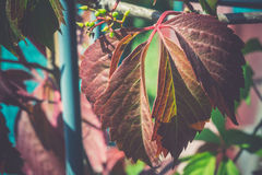 Red Leaves in Garden Royalty Free Stock Photography