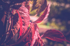 Red Leaves in Garden Royalty Free Stock Photos