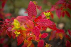 Red leaves in the garden. At autumn royalty free stock image
