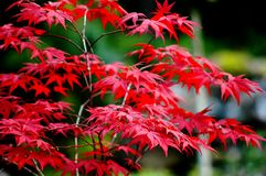 Red Leaves, Glacier Gardens, Juneau, Alaska, USA Stock Photography