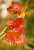 Red leaves of gooseberry bush Royalty Free Stock Photos