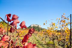 Red leaves of grapes  of grape plantings in autumn. Red leaves of grapes against the background of grape plantings in autumn Royalty Free Stock Image