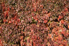Red leaves of the grapevine on a sunny day Royalty Free Stock Photography