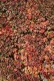 Red leaves of the grapevine on a sunny day Stock Photo
