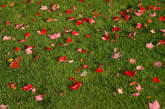 Red leaves on green Royalty Free Stock Image
