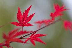 Red leaves and green background Stock Images