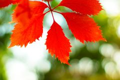 Red Leaves On Green Background. Red leaves on blurred green background with bokeh in sunny autumn morning stock photos