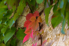 Red leaves on a green background, spring.  Royalty Free Stock Images