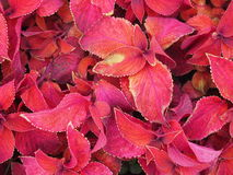 Red leaves. With  green edges Royalty Free Stock Photos