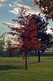 Red leaves. On green grass at sunset royalty free stock photos