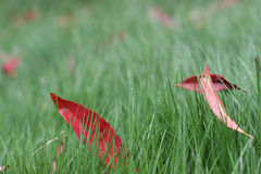 Red leaves in green lawn Stock Photos