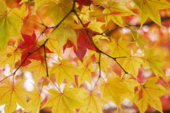 Red leaves among green. Two red maple leaves among yellow green maple leaves. season is changing Royalty Free Stock Photo