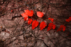 Red leaves on grey wall Royalty Free Stock Photos