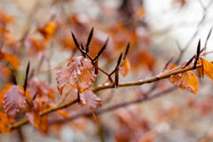 Red leaves hanging on a branch after rain Royalty Free Stock Image
