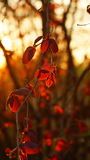 Red leaves of a hazel tree in the rays of the setting sun Stock Image