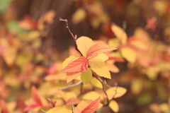 Red leaves heather(Photiniax fraseri). Photiniax fraseri is a collection of evergreen small trees, leafy leathery, long oval to oval-lanceolate, fresh spring Stock Images