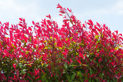 Red leaves of the hedge Royalty Free Stock Photo