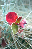 Red leaves with hoarfrost. Red leaves in autumn frosty morning Stock Images