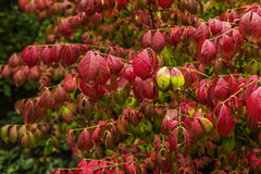 Red leaves in Hyde Park Royalty Free Stock Photos
