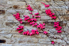 Red leaves of ivy on  stone wall Stock Photos