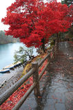 Red leaves in japan. Red maple leaves in tohoku, japan Stock Photo