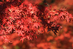 Red leaves in japan garden at Kyoto, japan Royalty Free Stock Images
