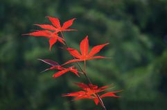 Red leaves of Japanese maple Acer palmatum. Bright red leaves of a palmate Japanese maple Acer palmatum against an unfocused background of green trees Stock Photos
