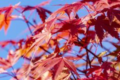 The red leaves of the Japanese maple contrast beautifully with the deep blue sky. Red leaves of the Japanese maple contrast beautifully with the deep blue sky stock images