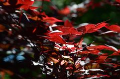 Red Leaves. Leaf, within Dallas Arboretum on bright and sunny day royalty free stock image