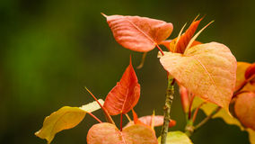 Red Leaves, Left, with green background Royalty Free Stock Photos