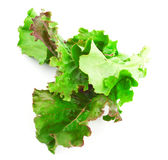 Red leaves of lettuce salad Royalty Free Stock Photo
