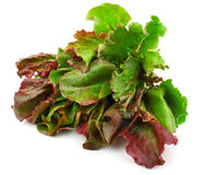 Red leaves of lettuce salad Stock Photo