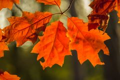 Red leaves. Autumn in Leudal, Netherlands stock photography