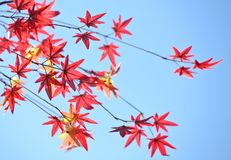 Red leaves of mable at Janpanese temple Royalty Free Stock Photography