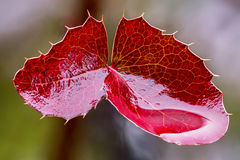 Red leaves Mahonia Royalty Free Stock Images