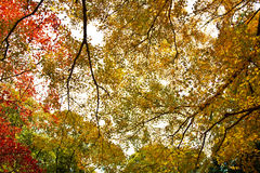 Red leaves of the maple in autumn Royalty Free Stock Photography