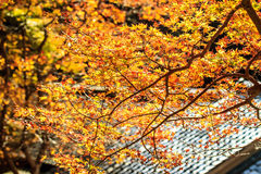 Red leaves of the maple in autumn Stock Photography