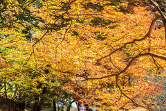 Red leaves of the maple in autumn Royalty Free Stock Photo