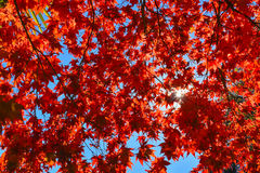 Red leaves of maple in backlight Royalty Free Stock Photo