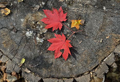 Red leaves of maple 2 Royalty Free Stock Photos