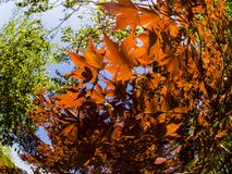 Red leaves of the maple glow in the rays of the sun. Fisheye image