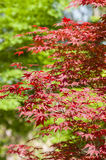 Red leaves of Maple tree Stock Photography