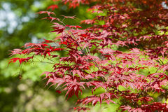 Red leaves of Maple tree Royalty Free Stock Photography