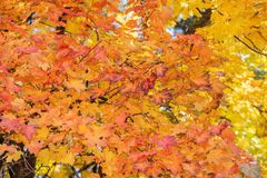 Red leaves of a maple tree. Close up as a beautiful autumn background stock photo