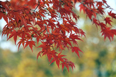 Red leaves on a maple tree Stock Image