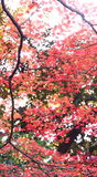 Red leaves of a maple tree Royalty Free Stock Photography