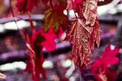 Red leaves of the maple tree wet after the rain. Close-up royalty free stock images