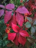 Red leaves. Mde plant with red leaves, thickets, bushes, summer in the forest, incredible leaves royalty free stock photos