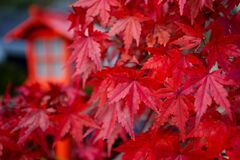 Free Red Leaves Momiji Of Acer Palmatum Red Emperor Maple, Palmate Royalty Free Stock Images - 170017659